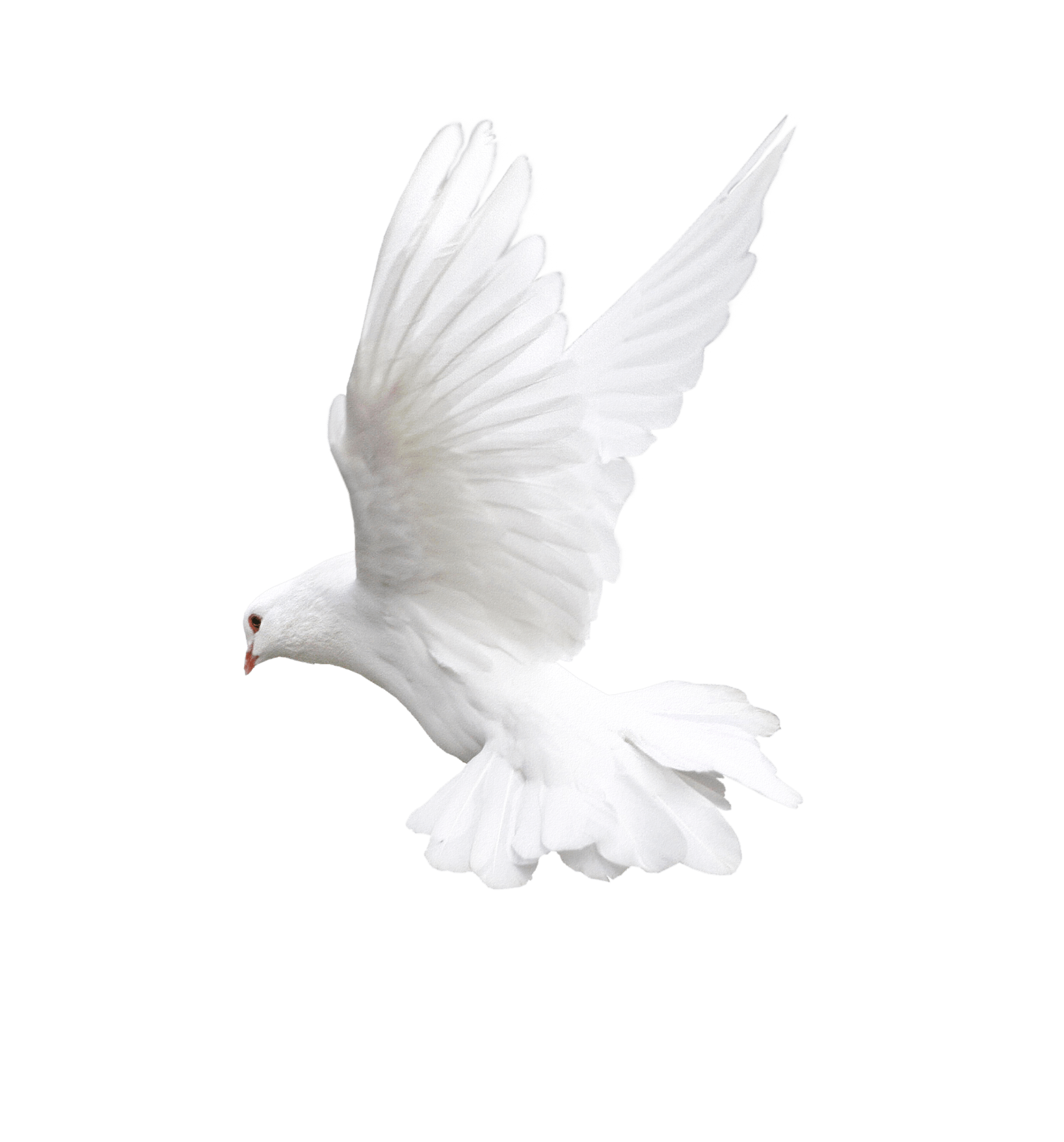 White Flying Pigeon Png Image PNG Image