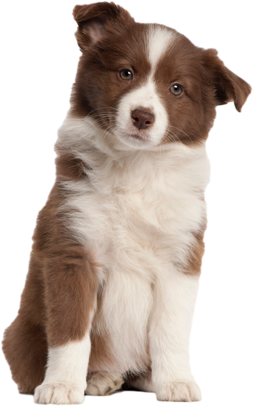 Puppy Transparent Image PNG Image