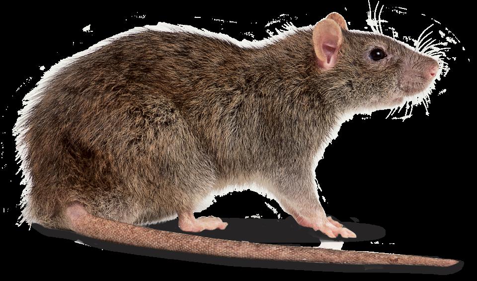 Download Rat Hq Png Image Freepngimg Discover free hd rat png images. download rat hq png image freepngimg