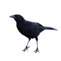 Raven Png Clipart PNG Image