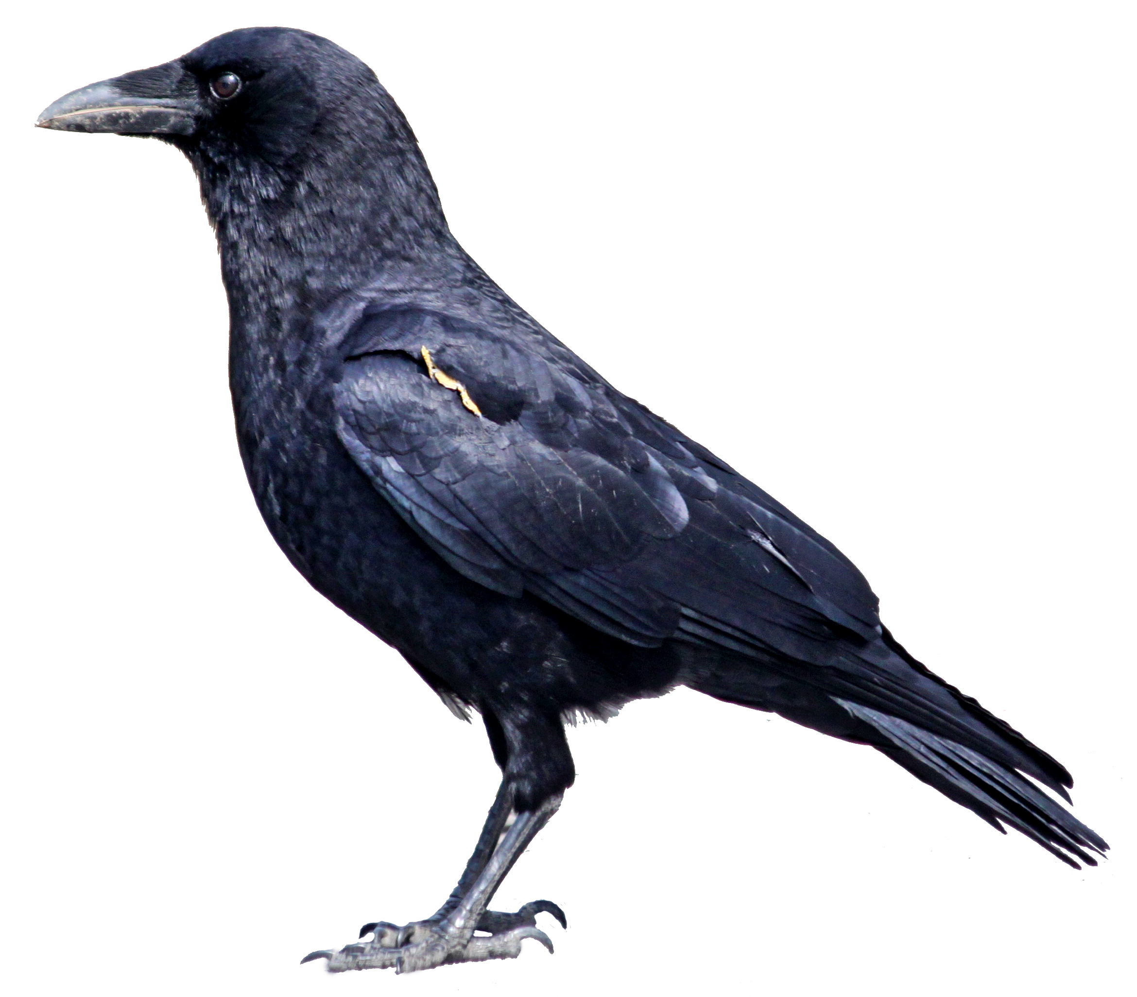 Raven Bird Photos PNG Image