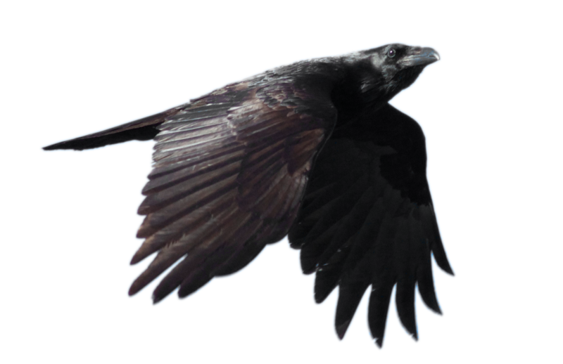 Raven Png File PNG Image