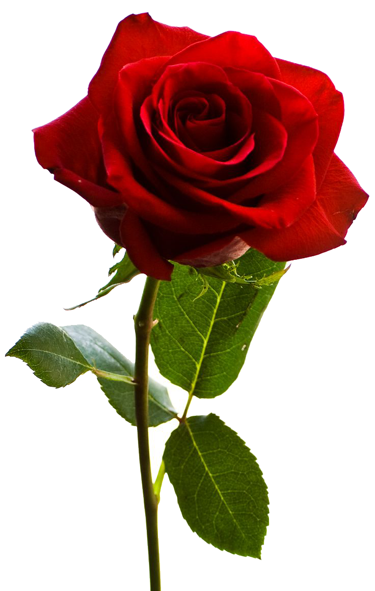 Rose Png PNG Image
