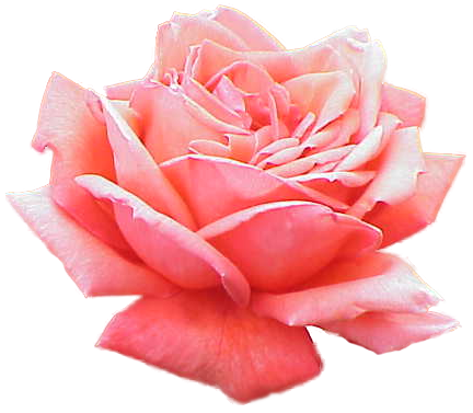 Pink Rose Picture PNG Image