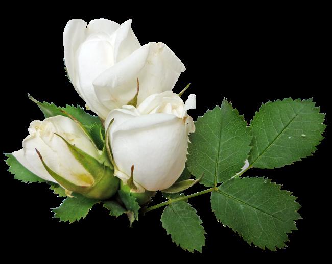 Download White Rose Transparent HQ PNG Image   FreePNGImg