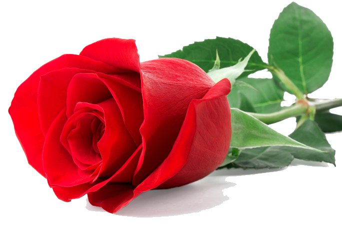 Single Red Rose PNG Image
