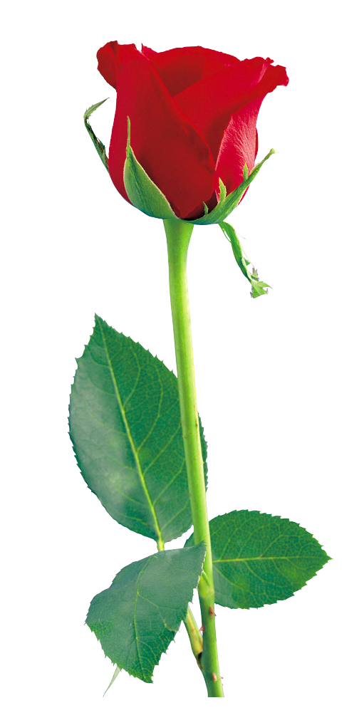 Single Red Rose File PNG Image