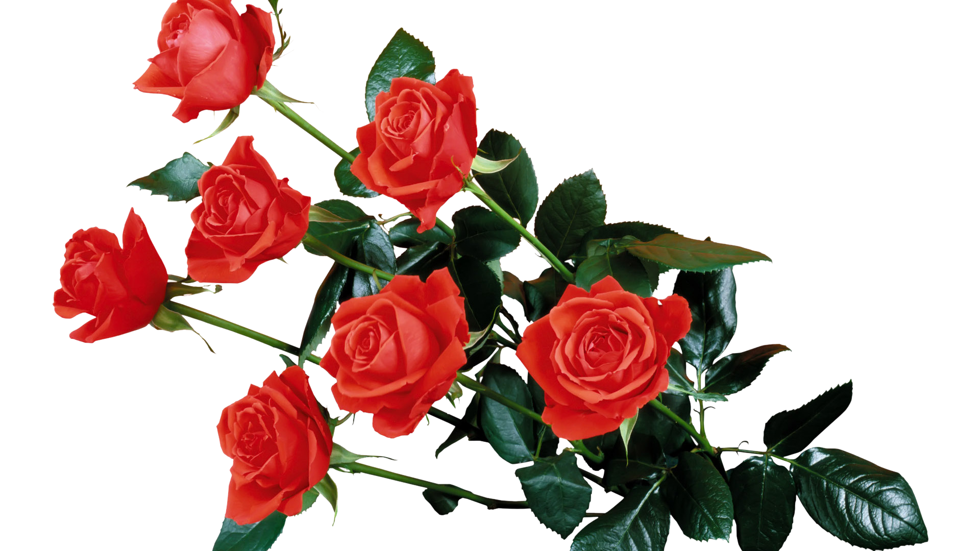 Red Rose Transparent PNG Image