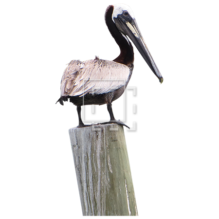 Pelican PNG Image High Quality PNG Image