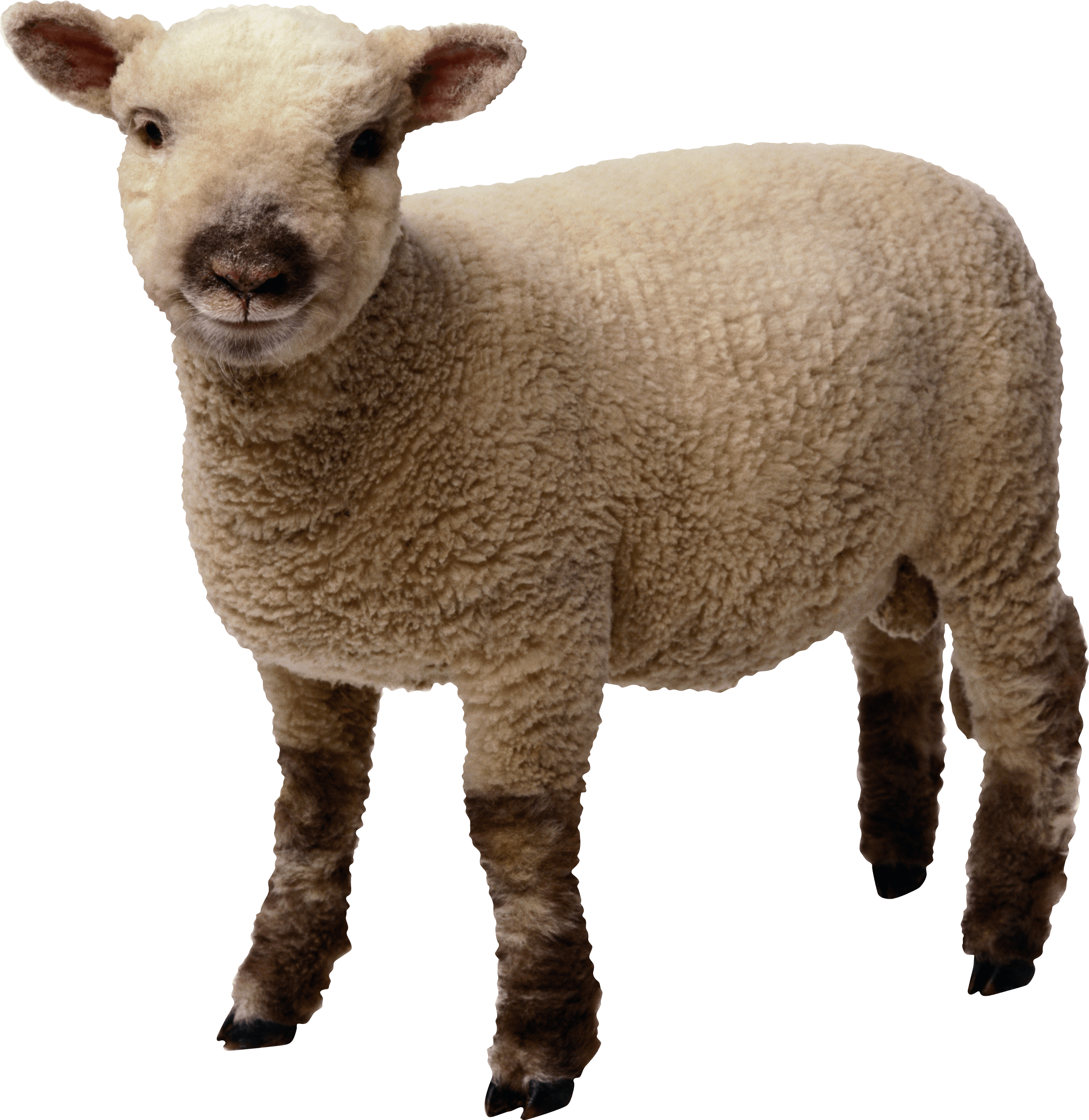 Little Sheep Png Image PNG Image