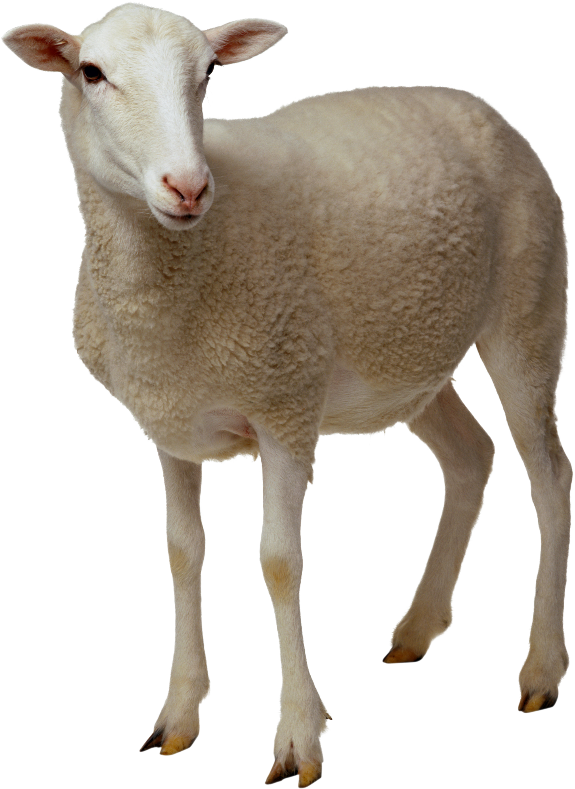 Sheep Png Clipart PNG Image