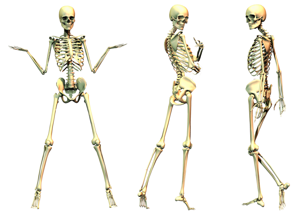 Skeleton Png File PNG Image