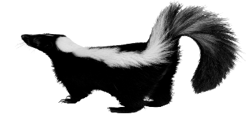 Skunk Picture PNG Image