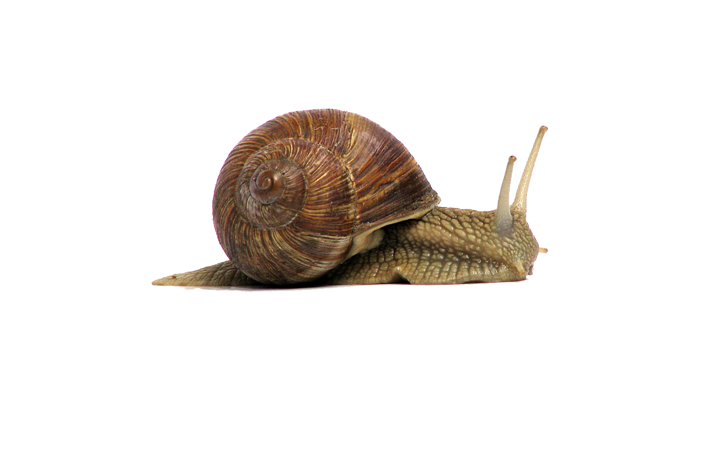 Snail Png File PNG Image