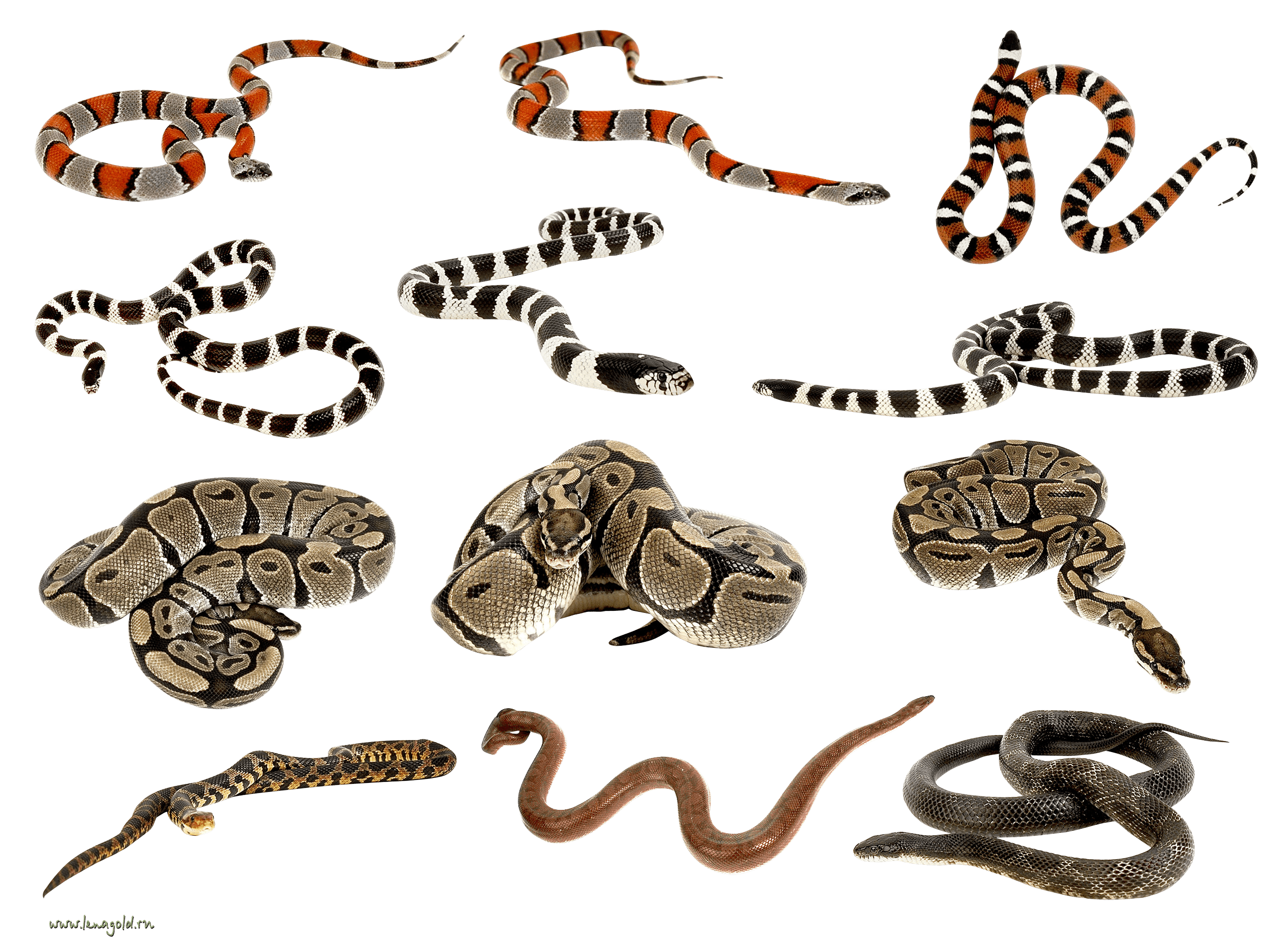 Snakes Clipart Png Images PNG Image