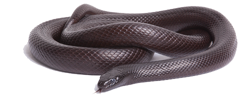 Black Snake Photos PNG Image