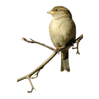 Sparrow Png Image PNG Image