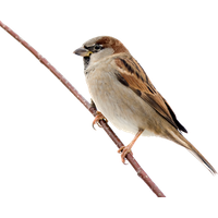 Sparrow Free Download Png PNG Image