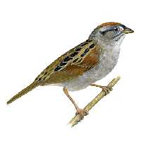 Sparrow Png Clipart PNG Image