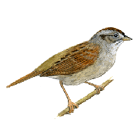 Sparrow Transparent PNG Image