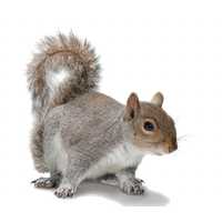 Squirrel Picture PNG Image