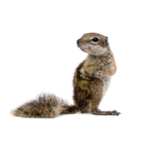 Squirrel Free Download Png PNG Image