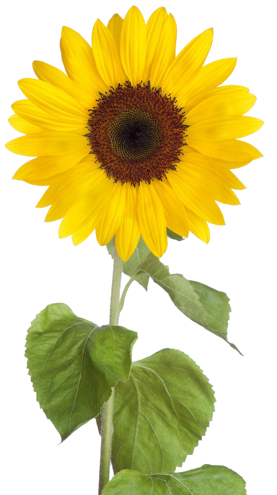 Download Sunflower Free Download HQ PNG Image | FreePNGImg