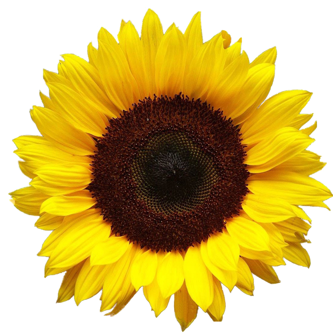 Sunflower Hd PNG Image