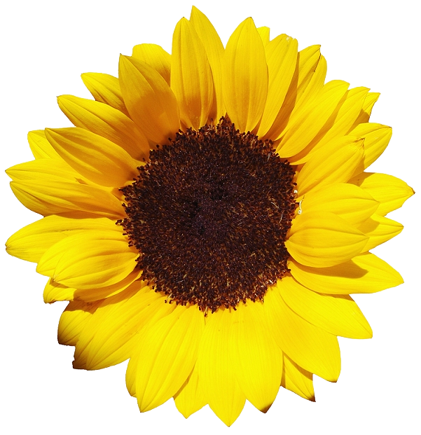 Sunflowers Free Png Image PNG Image