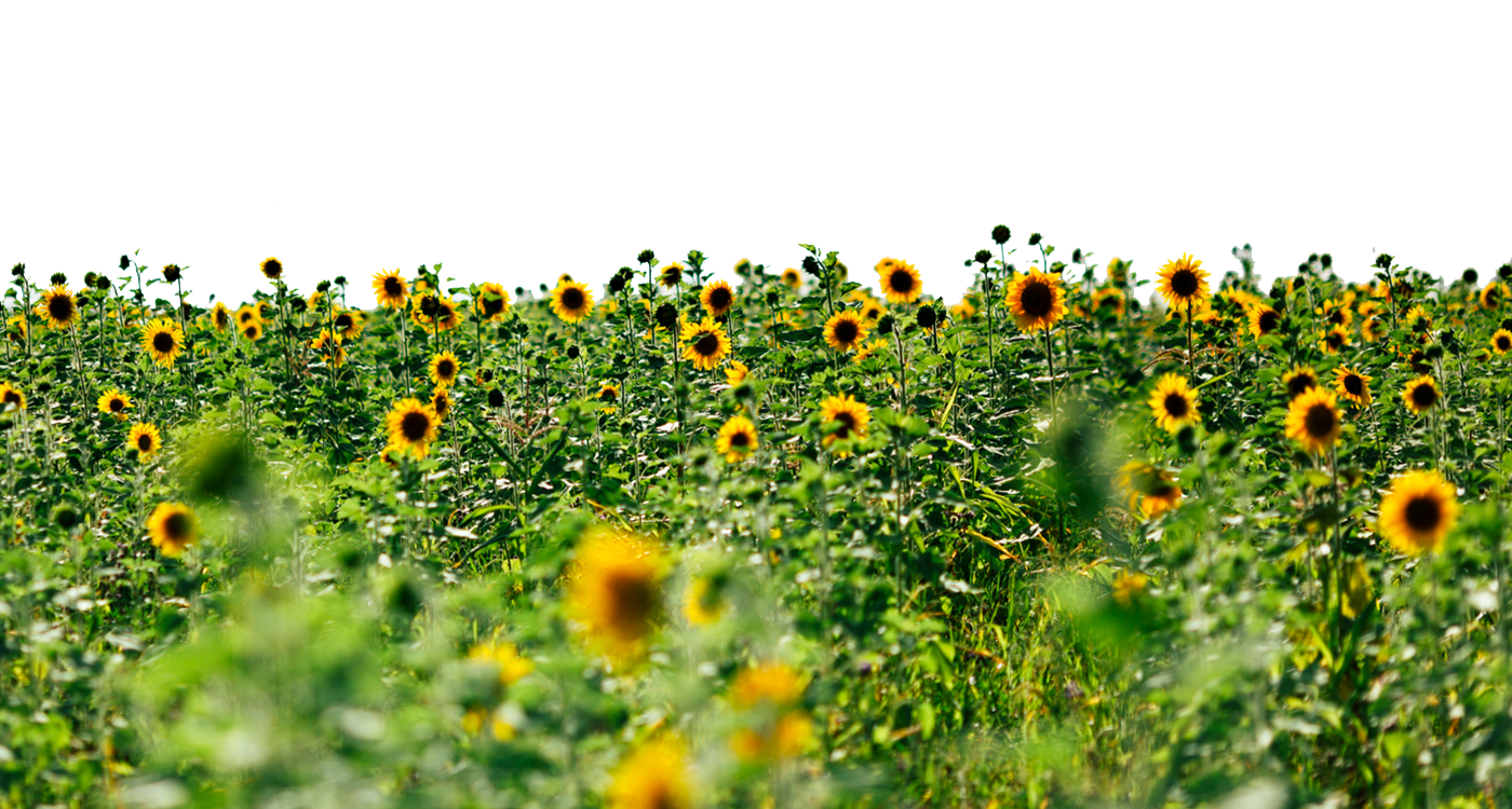 Sunflowers Picture PNG Image