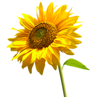 download sunflowers free png photo images and clipart sunshine clipart pictures sunshine clip art black