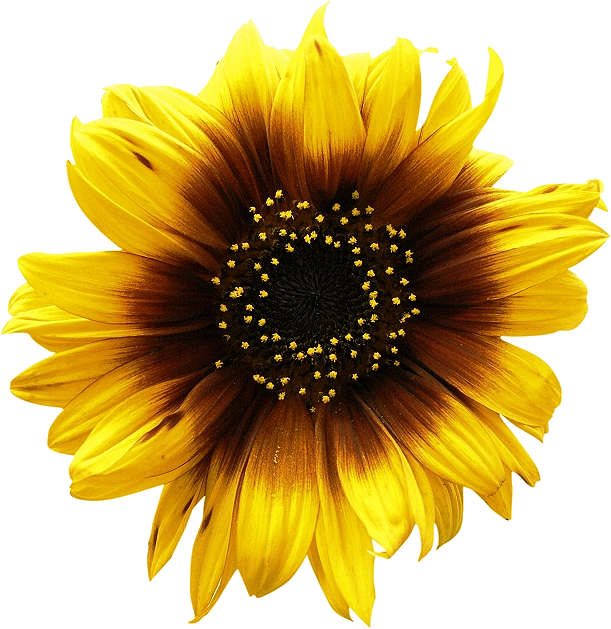 Sunflowers Png Picture PNG Image