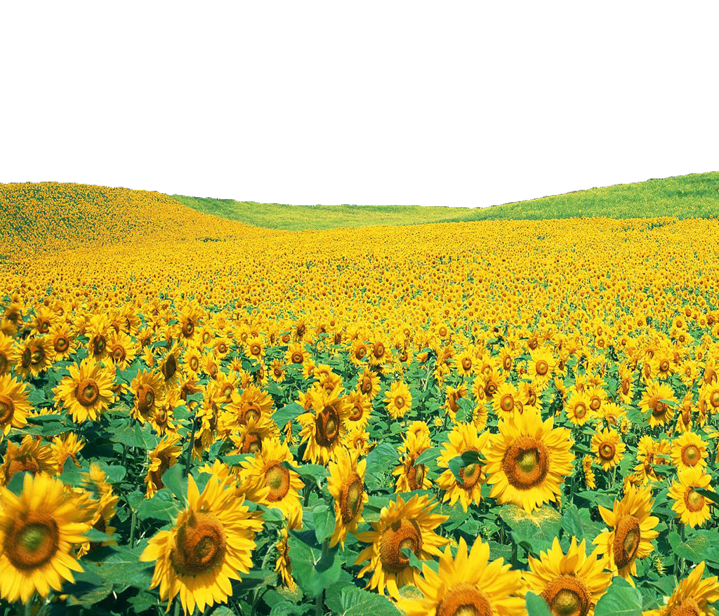 Sunflowers Png File PNG Image