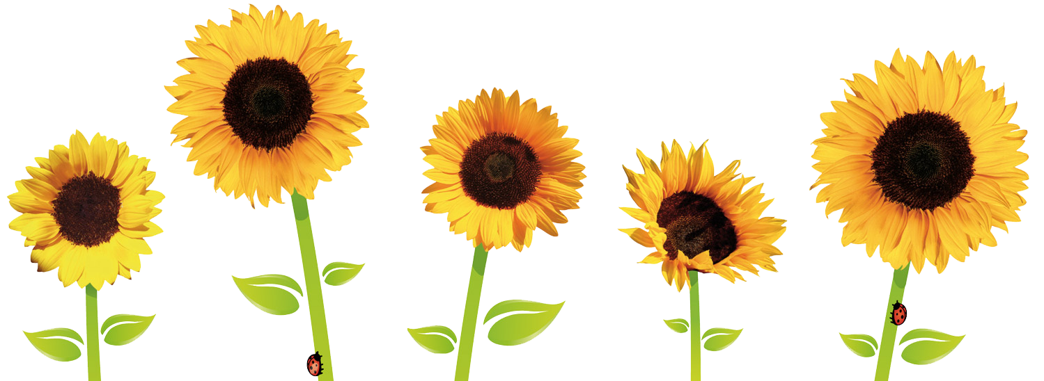 Sunflowers Transparent PNG Image