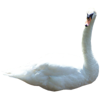 Swan Png Picture PNG Image