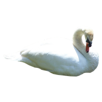 Swan Png Hd PNG Image