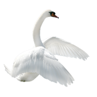 Swan Png Image PNG Image