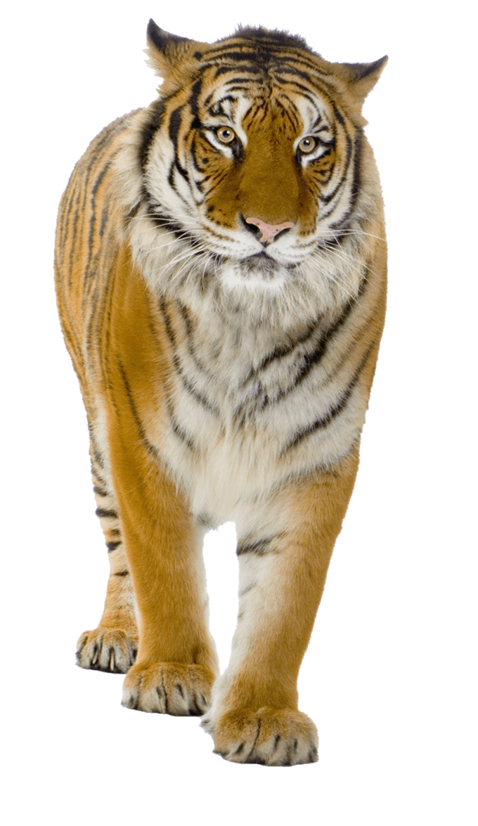 Tiger Png Image Download Tigers PNG Image