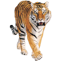 Tiger Png Image Download Tigers<B>素材格式</B>: PNG<B>素材尺寸</B>: 680x1175<B>檔案大小</B>: 262.6KB<B>推薦人數</B>: 6,512