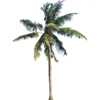 Coconut Tree Transparent PNG Image