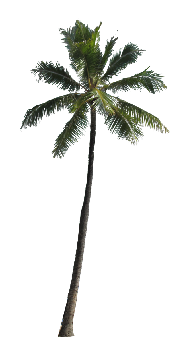 Coconut Tree Picture PNG Image
