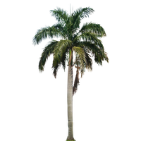 Coconut Tree Hd PNG Image
