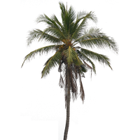 Coconut Tree PNG Image