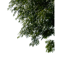 Tree Leaves Image PNG Image