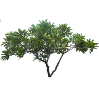 Jungle Tree Picture PNG Image