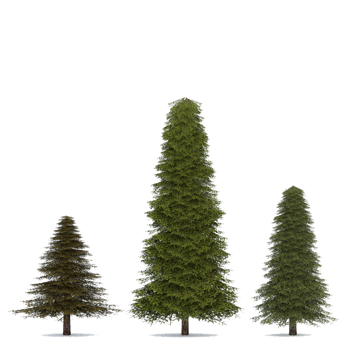 Fir-Tree Transparent Image PNG Image