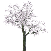 Cherry Tree Transparent Image PNG Image