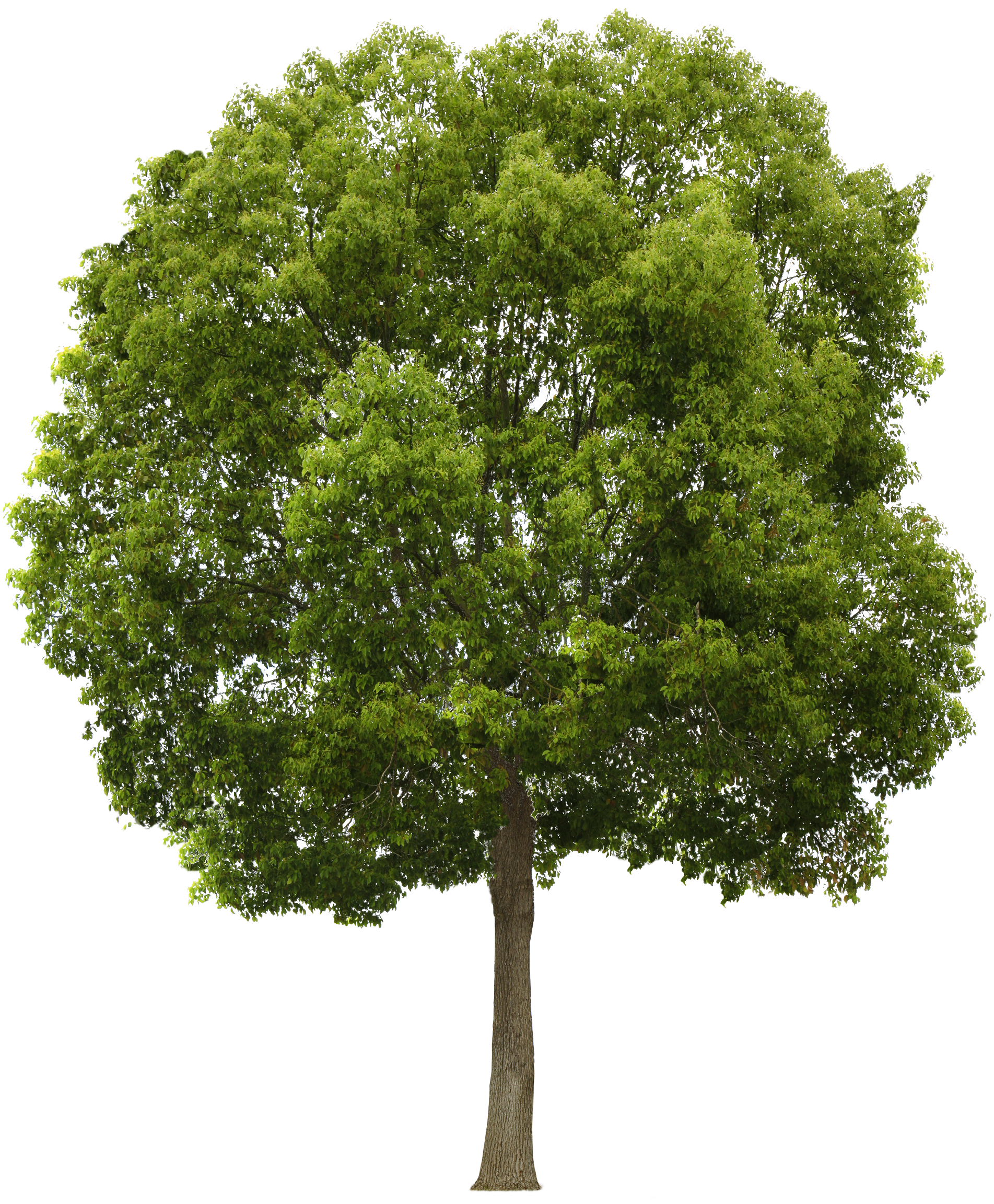 Tree Png PNG Image