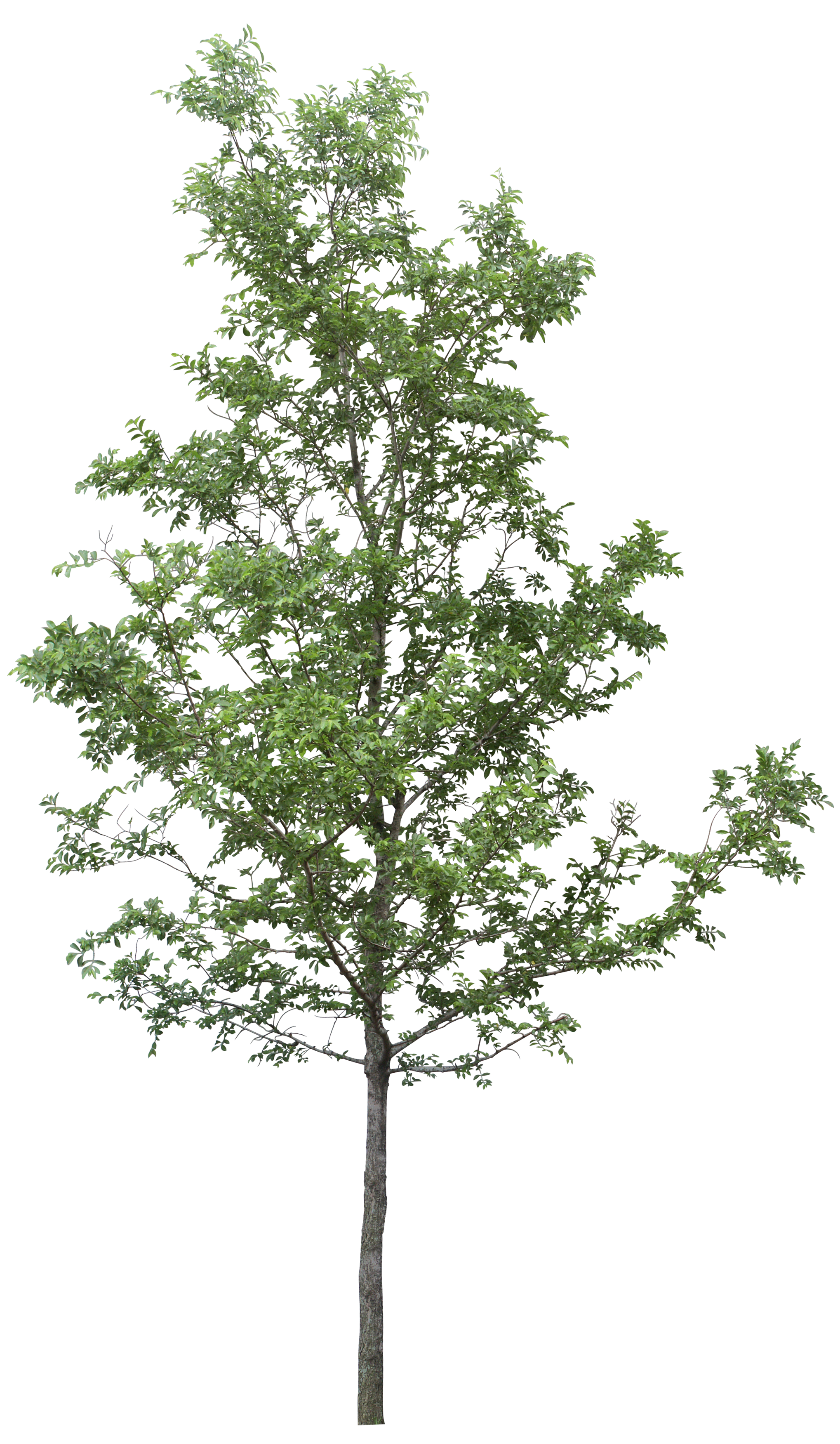 Tree Png Clipart PNG Image