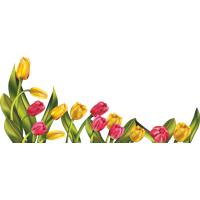 Tulip Picture PNG Image